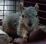 Missy, the paralyzed Squirrel