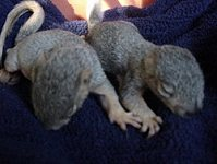 2 orphaned Squirrel Sisters