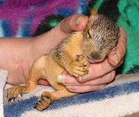 Sleeping baby fox squirrel