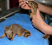 2 orphaned squirrels being fed