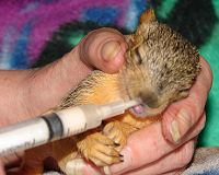 Feeding an orphaned Squirrel